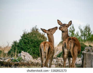 Female red deer and her fawn share a tender moment.