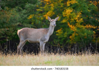 Female Red deer stag in the natural environment