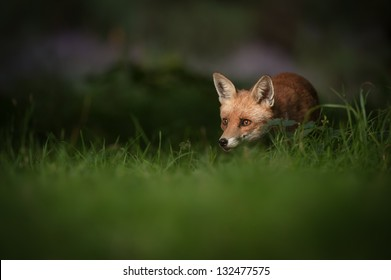A female Red Fox in the dappled light of early morning.