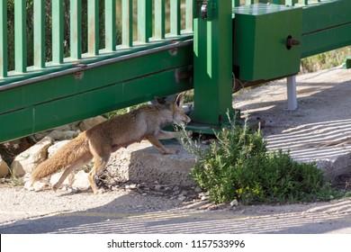 Female red fox runnig under green gate into near small village