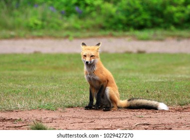 Female Red Fox Vixen Posing in a Grass Meadow, Prince Edward Island , Canada