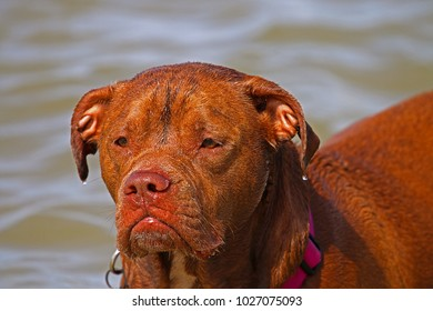 A Female Red Nose Pit Bull Mix At Local Dog Park