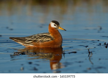 A female red phalarope in breeding plumage rests in the shallow water of an arctic tundra pond
