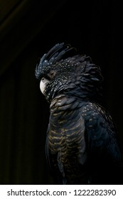 A female red tailed black cockatoo sits in a small patch of light whilst waiting out the rain