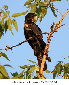 Female Red Tailed Black Cockatoo at Howard Springs Nature Park, Northern Territory Australia