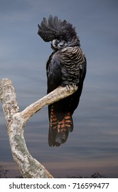 the female red tailed black cockatoo is perched