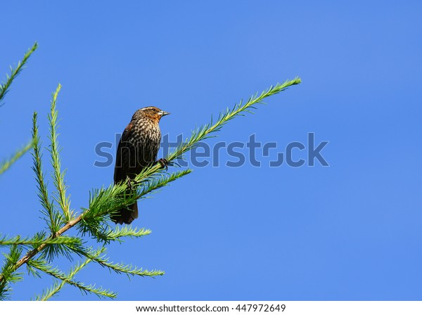 Female Red Wing Blackbird perched on Tamarack branch in early summer.  Photo taken at Northwood Park in New Hope, MN.