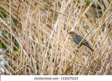 Female Red Winged Balckbird (Agelaius phoeniceus) in some tall grass