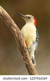 Female Red-Bellied Woodpecker Perched on Branch