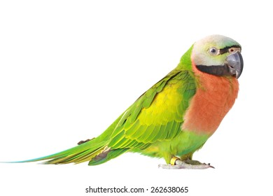 female Red-breasted Parakeet isolated on white background.