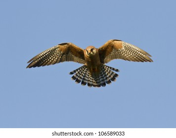 The female Red-footed falcon in flight.