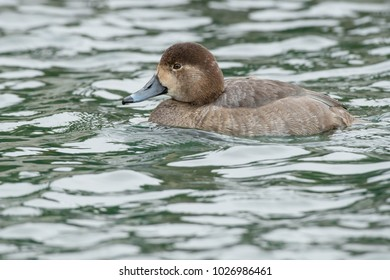 Female Redhead swimming in the open water. Humber Bay Park, Toronto, Ontario, Canada.