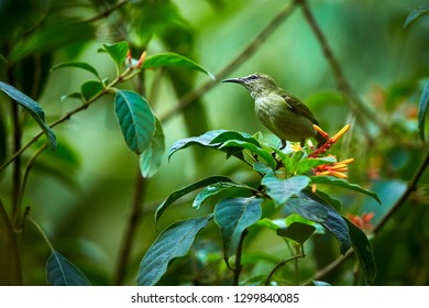 Female of Red-legged Honeycreeper (Cyanerpes cyaneus) beautiful bird from Costa Rica. Wildlife scene from rainforest. Bird drink nectar from flower.