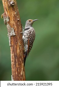 A female red-shafted flicker perches on a weathered snag.