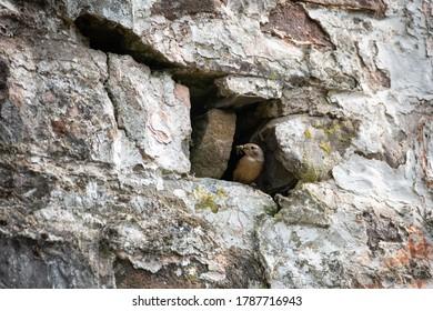 Female Redstart nesting in the side of a barn.