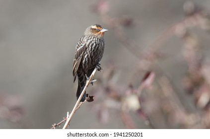 Female red-winged blackbird clinging t top of a twig