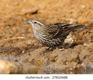 Female Red-winged Blackbird having a drink of water