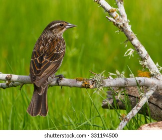 Female Red-winged Blackbird perched on a lichen-encrusted stick