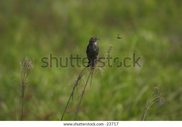 Female red-winged blackbird in standoff with bumblebee