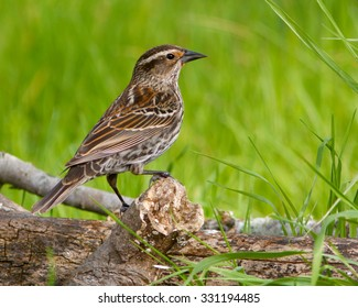 Female Red-winged Blackbird walking across a fallen branch