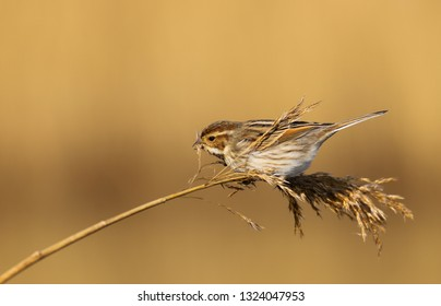 A female reed bunting (Emberiza schoeniclus) bird feeding on seed in a reed bed at Cardiff Bay Nature Reserve, South Wales, UK in early spring