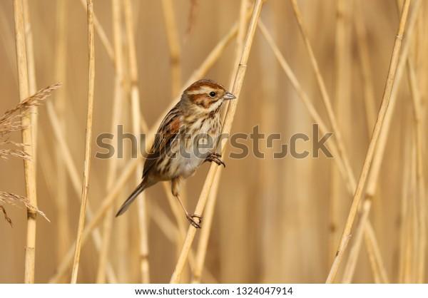 Female Reed Bunting Emberiza Schoeniclus Bird Stock Photo Edit Now 1324047914