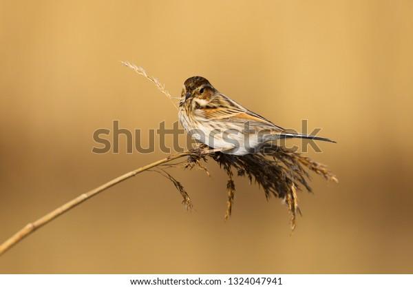 Female Reed Bunting Emberiza Schoeniclus Bird Stock Photo Edit Now 1324047941