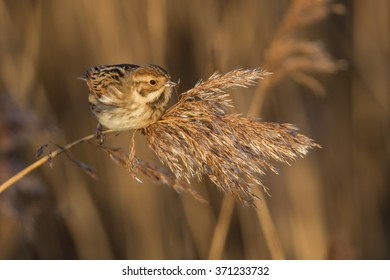Female Reed bunting perched on a reed