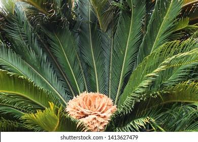 Female reproductive structure of sago palm or king sago or sago cycad or Japanese sago palm (Cycas revoluta)