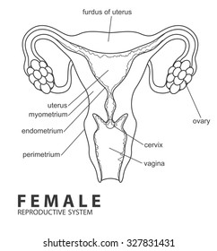 picture of female reproductive system stock images
