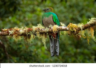 Female of Resplendent Quetzal, Savegre in Costa Rica with green forest in background. Magnificent sacred green and red bird. Detail portrait of beautiful tropic animal. Bird with long tail.