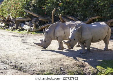 Female Rhinoceros