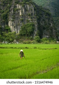 Female rice farmer with traditional conical hat in vibrant green wet rice field with karst hills in background, Tam Coc, Ninh Binh, Vietnam