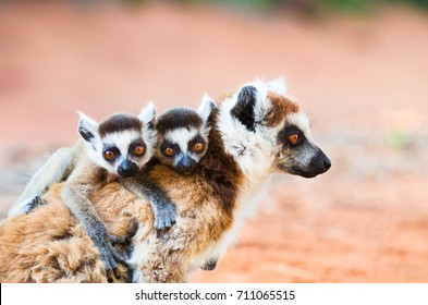 Female ringtailed lemur, Lemur catta, carrying twin babies iin Berenty reserve Madagascar