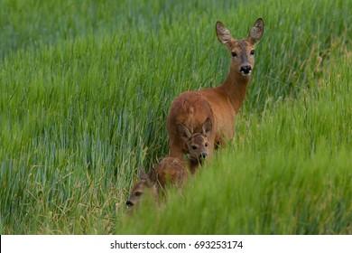 Female Roe deer is leading her newborn fawns through lushy corn field