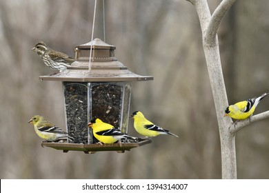 Female Rose Breasted Grosbeak on top of bird feeder with green female American Goldfinch and three yellow molting male Goldfinches