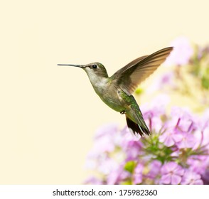 A female ruby throated hummingbird (archilochus colubris) in motion in the garden on a summer day with copy space.