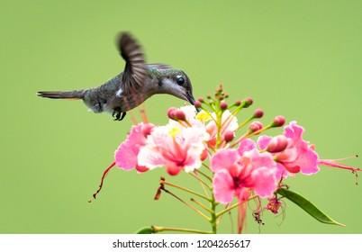 Female Ruby Topaz Hummingbird feeding on the Pride of Barbados flower.