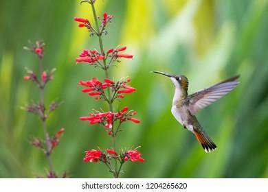 Female Ruby Topaz Hummingbird feeding on a red flower in a tropical garden.