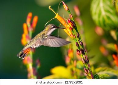 Female Ruby Topaz hummingbird feeding on the Sanchezia flowers.