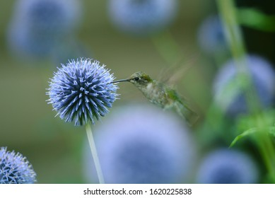 A female ruby-throated hummingbird hovers over a globe thistle, ready to feed at the Adirondack visitor interpretive visitor center near Newcomb, New York, located in the Adirondack Mountains.