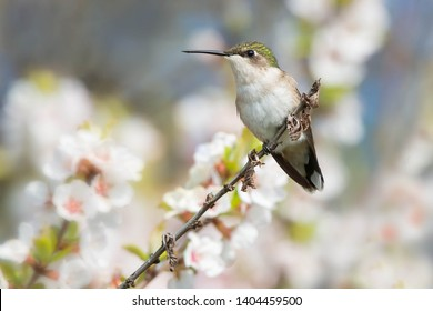 A female Ruby-throated Hummingbird is perched on a branch in front of some white flowers. Ashbridges Bay Parh, Toronto, Ontario, Canada.