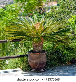 Female Sago palm (Cycas revoluta), also known as king sago palm,  with flower in flower pot