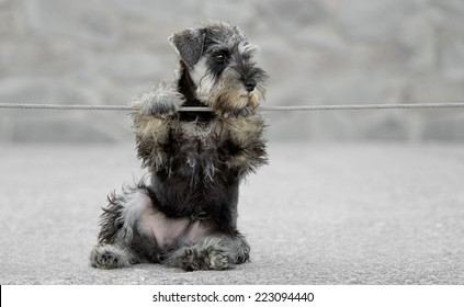 Female salt and pepper miniature schnauzer puppy outdoors playing with a cable