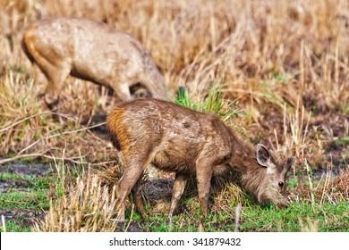 Female Sambar deer (Rusa unicolor, also called Philippine or Rusa deer), Bandhavgarh National Park, India