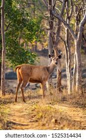 Female Sambar Deer seen on Safari in Satpura Tiger Reserve, Madhya Pradesh, India