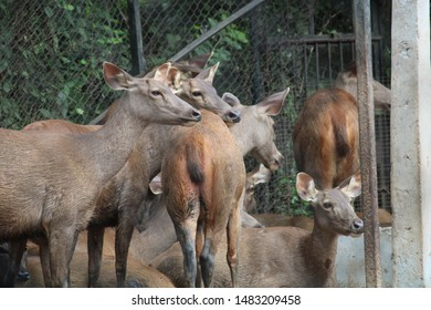 Female Sambar deers without antlers
