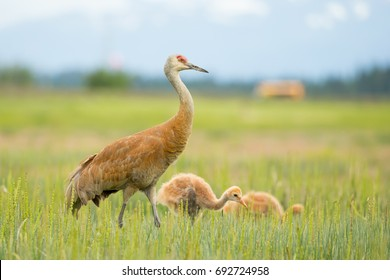 Female Sandhill Crane and Chicks on the field in Alaska
