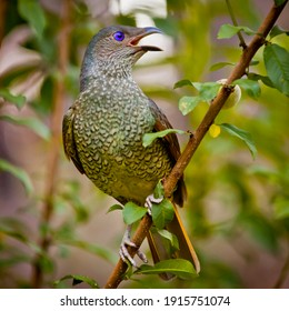 Female satin bowerbird, or a male under 4 years of age. Endemic eastern Australian bowerbird, made famous by Attenborough who observed them collecting pieces of blue plastic to decorate bower.