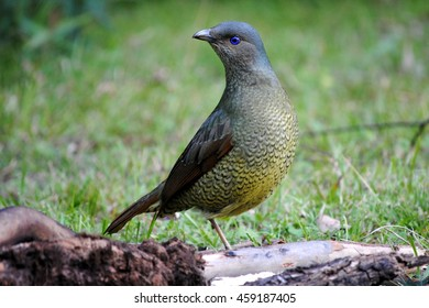 Female Satin Bowerbird (Ptilonorhynchus violaceus), an Australian native animal